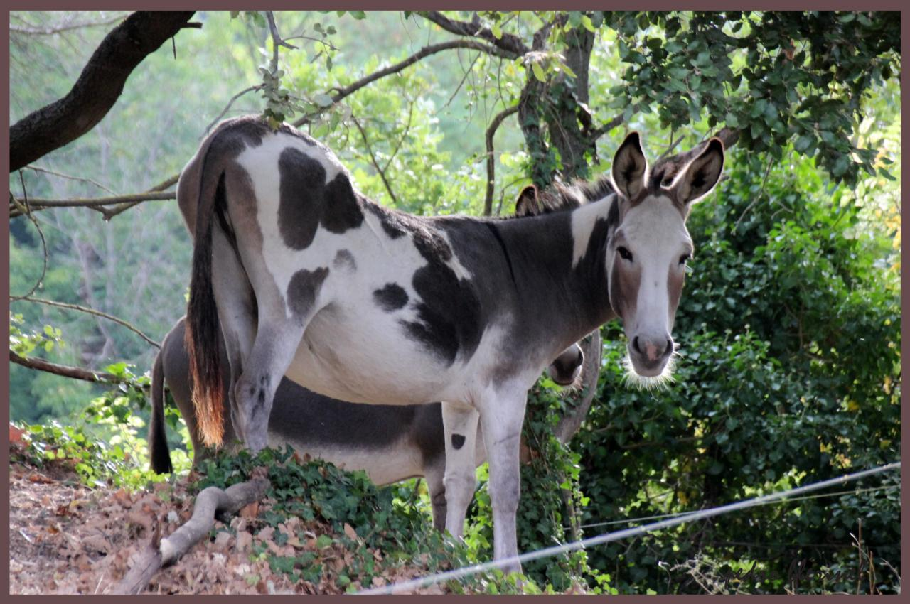âne ou vache hollandaise ? (21/07/17)