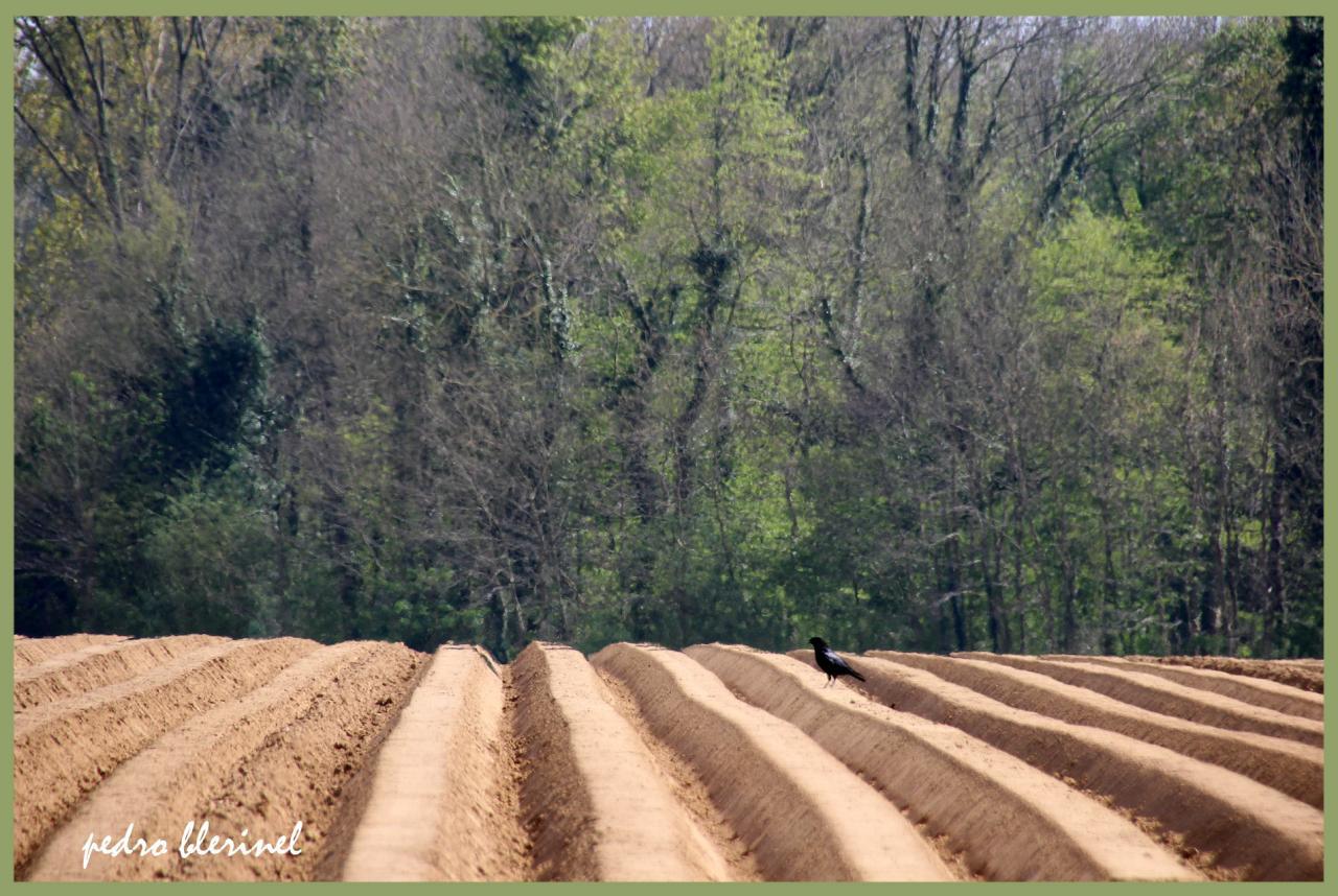champ de pommes de terre (25/07/17)