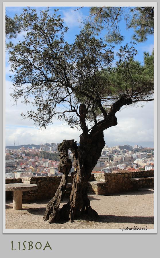 LISBONNE : l'arbre vénérable (27/02/17)