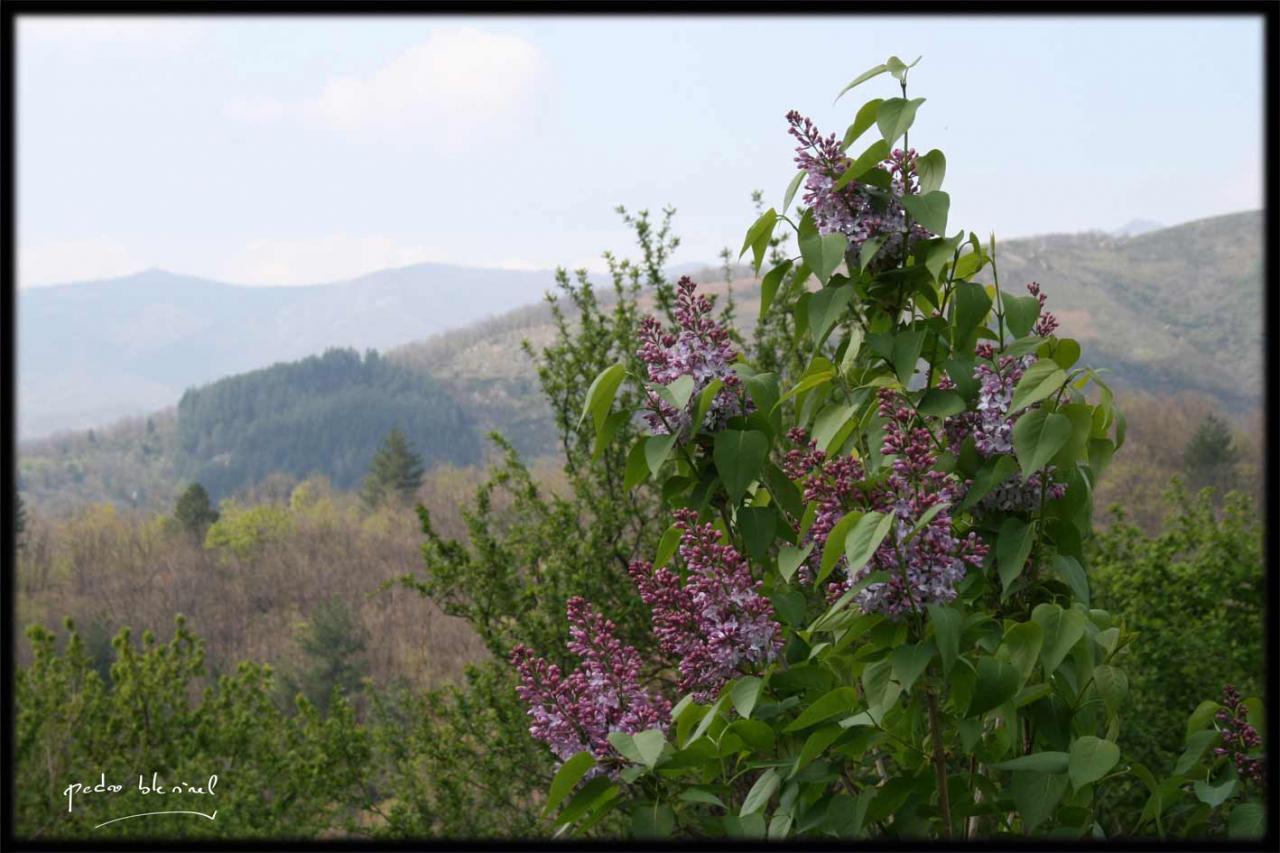 Printemps en Ardèche : lilas (03/04/17)