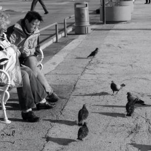 pigeons dalmates