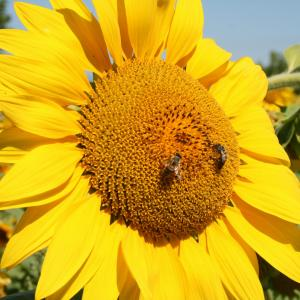 rêve d'abeille